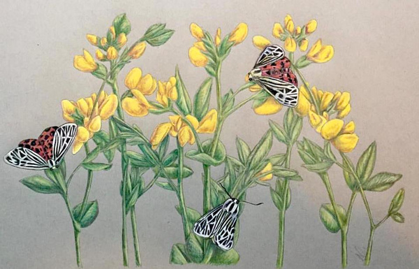Amber Chiozza - Tiger Moth. Pastel on Paper. 2017