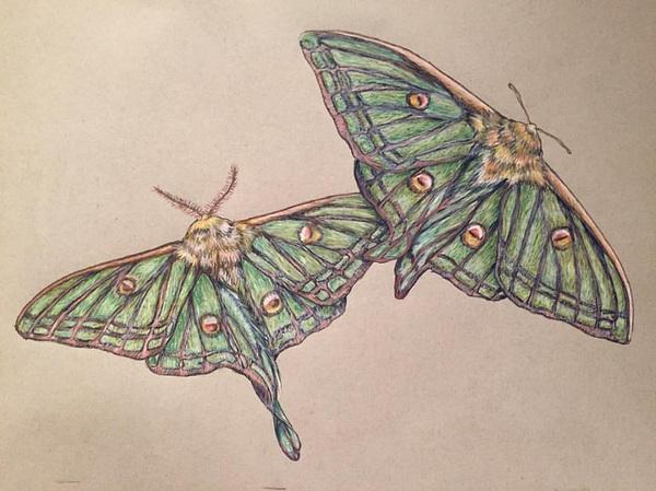 Amber Chiozza - Spanish Moon Moth Pastel on Paper. 2017