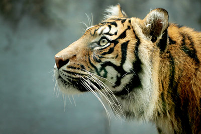 SUI (JEN)ERIS PHOTOGRAPHY - Tiger - Sydney, Australia