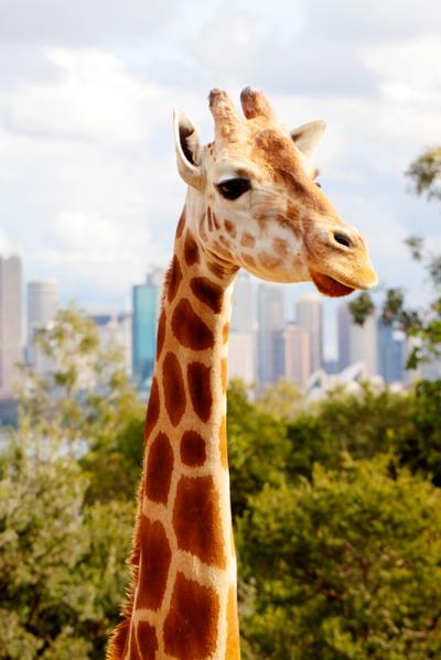 SUI (JEN)ERIS PHOTOGRAPHY - Giraffe - Sydney, Australia