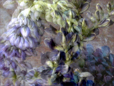 Museum Quality Photographic Art - 2011 Lupine Lovers rising from a petal pile, tangled into an embrace, entwined in one long kiss. All lupines know the pleasure of a butterfly kiss; but these learned how to bend.