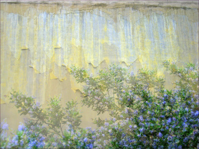 Museum Quality Photographic Art - 2008 Ceanothus Wall (sold) Visually capturing the clouds of fragrance emanating from Ceanothus blossoms (California Lilac).