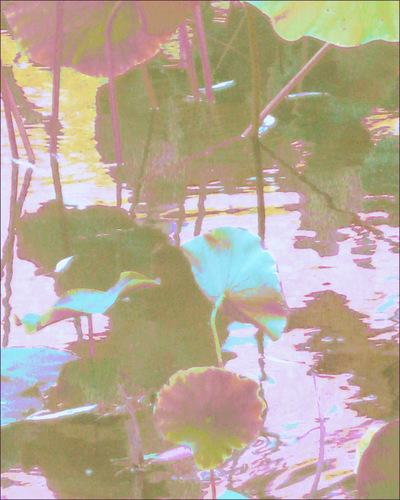 Museum Quality Photographic Art - 2013 Pond Lotus