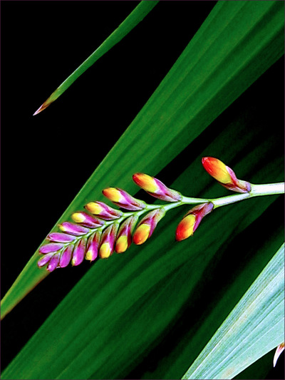 Museum Quality Photographic Art - 2009 Crocosmia Bud