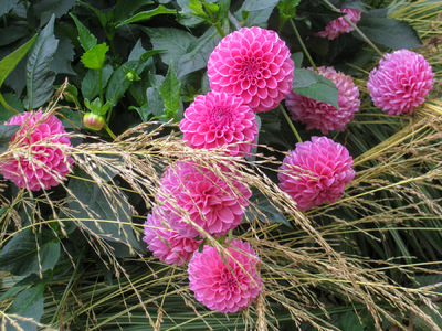 Museum Quality Photographic Art - Pink Pom Pom Dahlias and Ornamental Grass