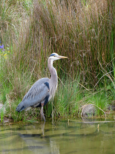 Museum Quality Photographic Art - Female Heron in a Park
