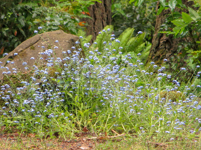 Museum Quality Photographic Art - Blue Wildflowers and Mossy Boulder