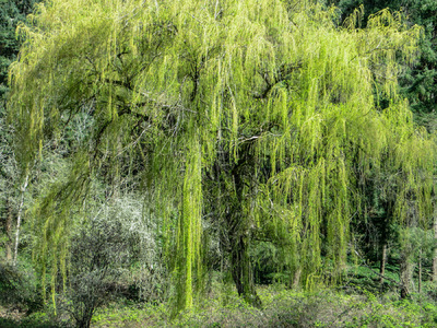 Museum Quality Photographic Art - Weeping Willow Tree in March