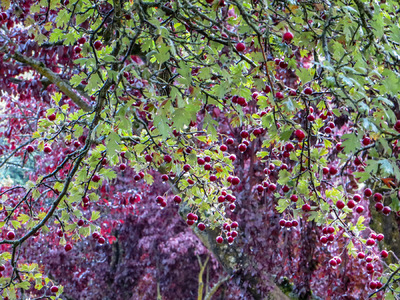 Museum Quality Photographic Art - Berry Tree in the Rain