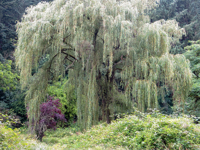 Museum Quality Photographic Art - Weeping Willow Tree Near Hunt Club