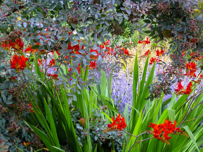 Museum Quality Photographic Art - Crocosmia and Lavender under Rosa Glauca