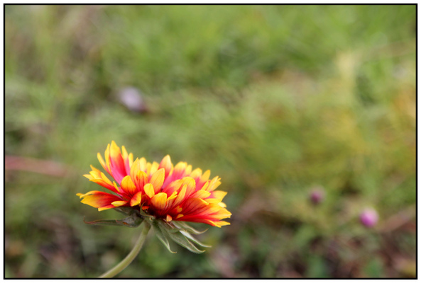 Creative Images by Loyce - Blanket Flower on the Lazarus Rooftop Gardens