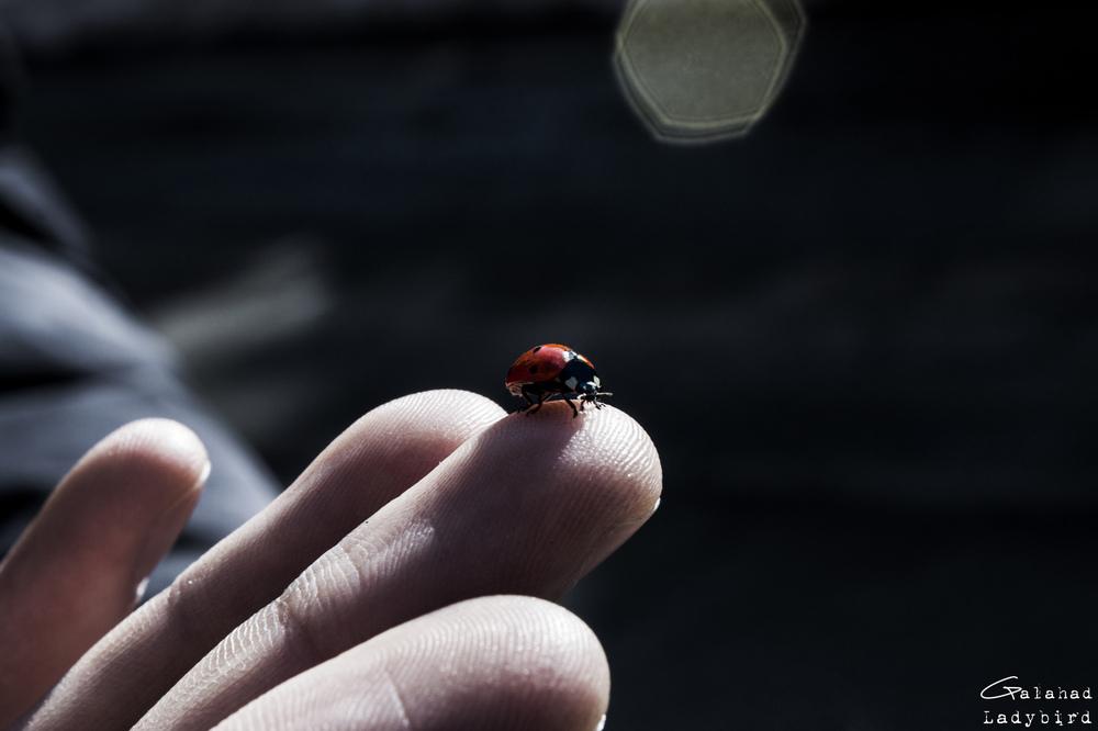 Galahad - Ladybird