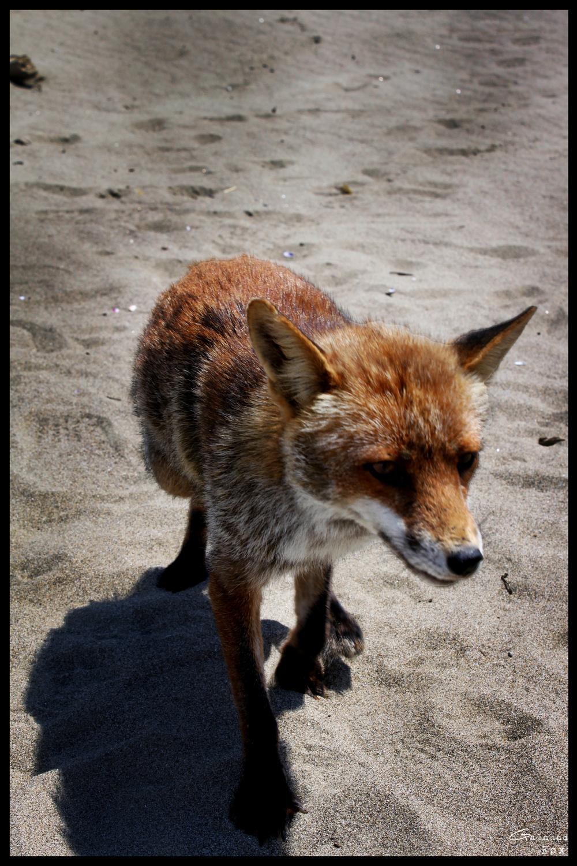 Galahad - Fox