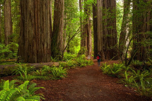 Ying RL Photography - Sequoia sempervirens