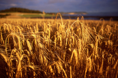 Art Photography - Wheat.