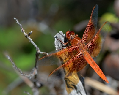 Frode Wendelbo Nature and Wildlife photographer - Fire Red Dragonfly #1