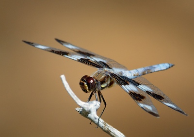 Frode Wendelbo Nature and Wildlife photographer - Twelve Spotted Skimmer #1